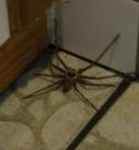 Identifiez les signes d'une piqure d'araignée