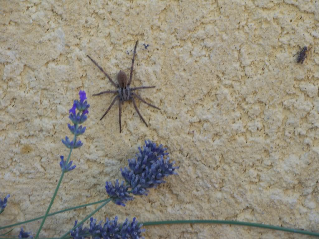Piqure d araign e je pr f re les rem des de grand m re - Araignee rouge traitement naturel ...