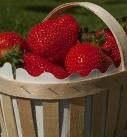 Quand faire votre plantation de fraisiers ?